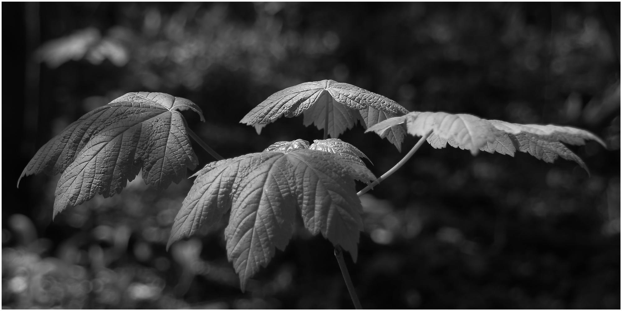 Ahorn im Wald
