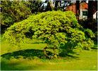 Ahorn mit grünem Blattwerk