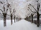 Ahornallee im Winter