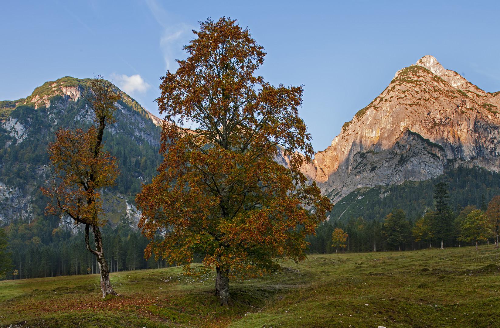 Ahornbaum im Karwendelgebirge