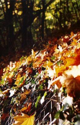 Ahornblätter gefangen im Netz - Herbst 2004