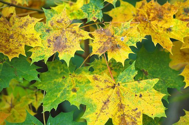 Ahornblätter im Herbstkleid