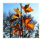 Ahornblätter im Sonnenlicht  1