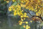 Ahornblatt im Herbst (Momiji) Kyoto, Nov 2006
