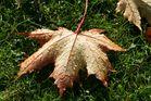 Ahornblatt im Morgentau