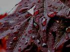 Ahornblatt im Regen