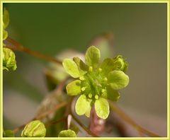 Ahornblüte