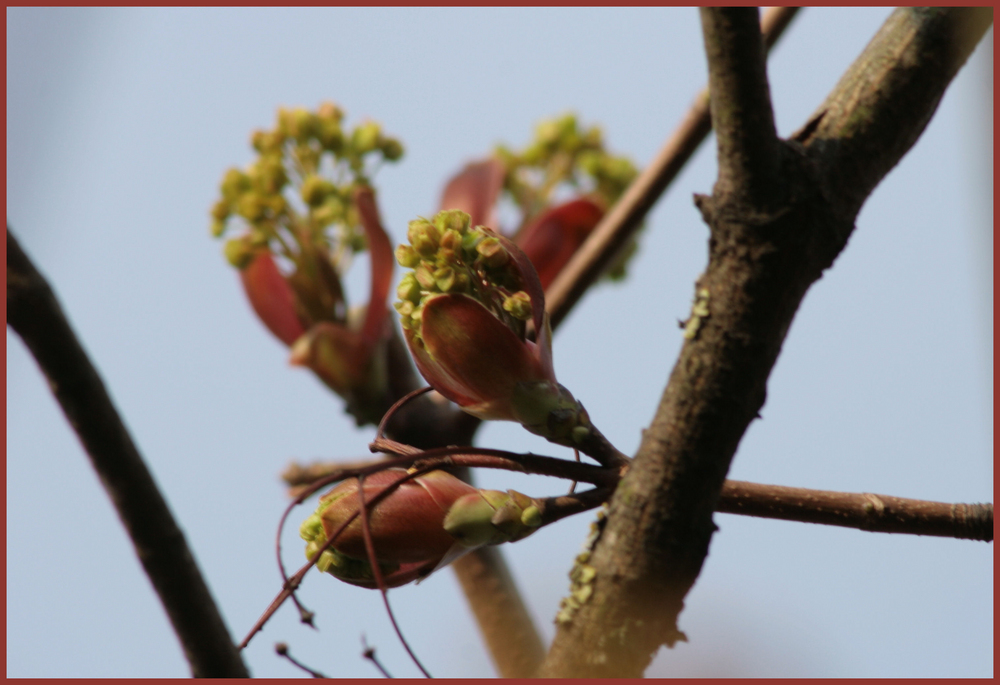 Ahornblüten