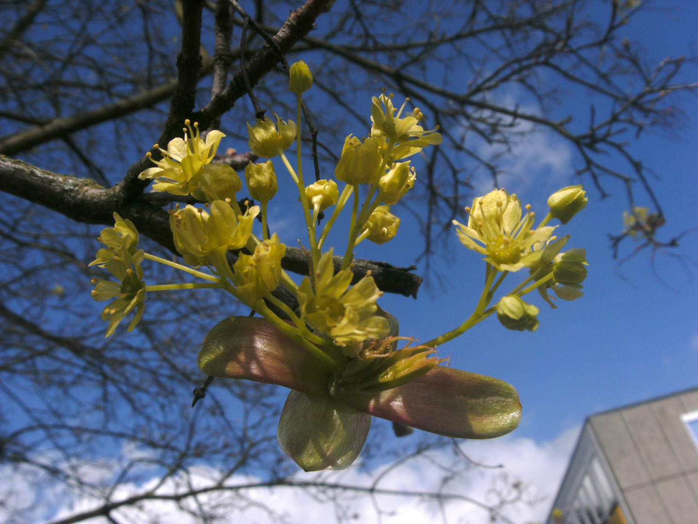 Ahornblüte...vom 23.04.2012