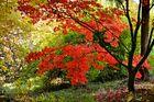 Ahornleuchten im Herbst