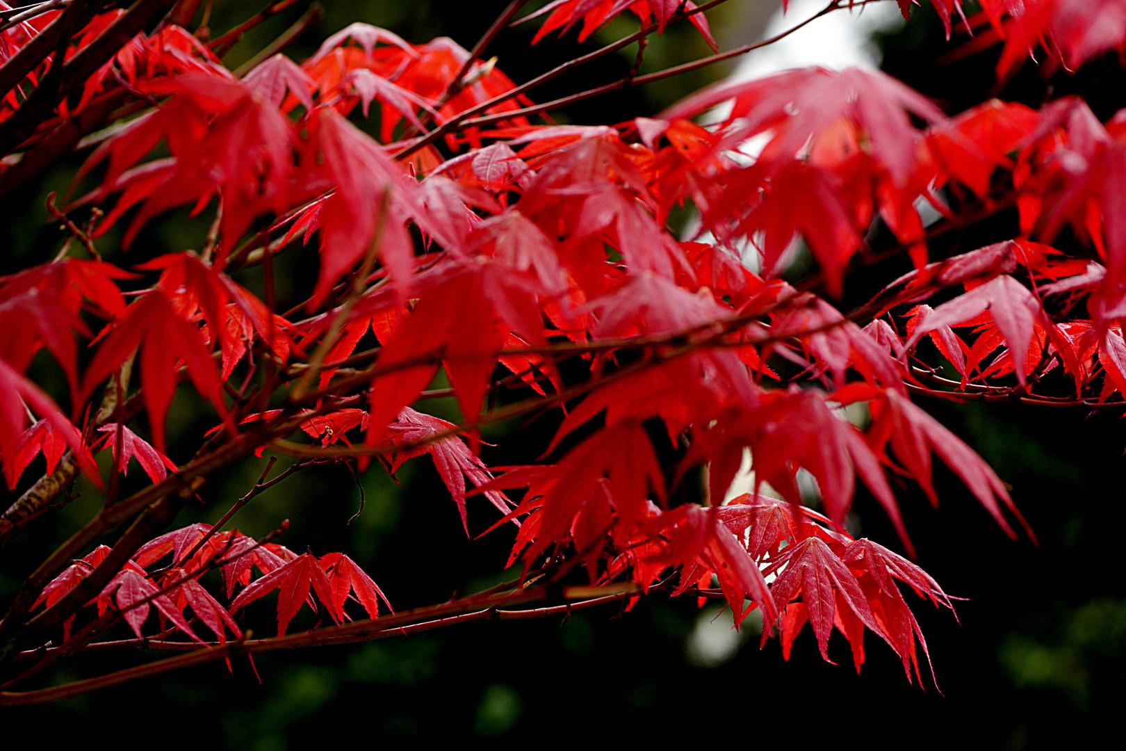 Ahornzweig im Wind, die ersten Blätter in diesem Jahr.