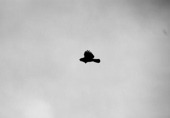 Aigle en plein vol le bec ouvert