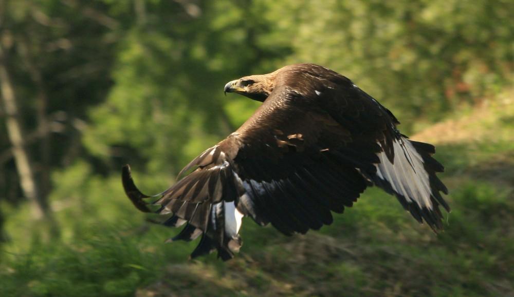 Aigle royal en vol.