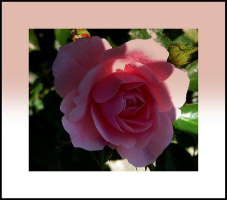 aimez vous les roses