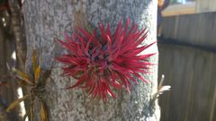 Air plant, clings to tree.
