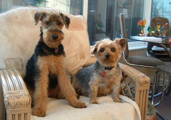Airedale and Yorkshire Terrier