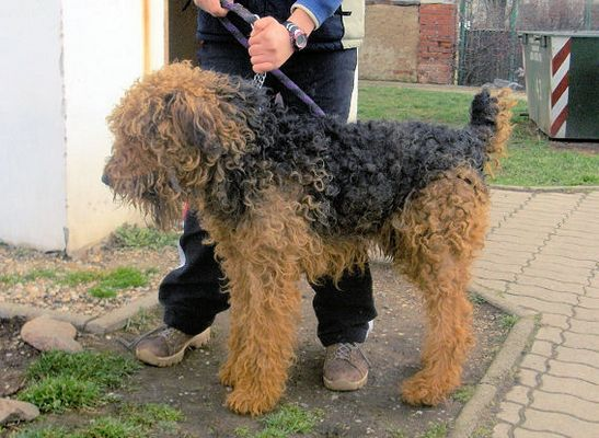 Airedale in Not