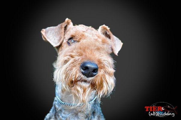 Airedale Terrier Hündin Lara-Joy