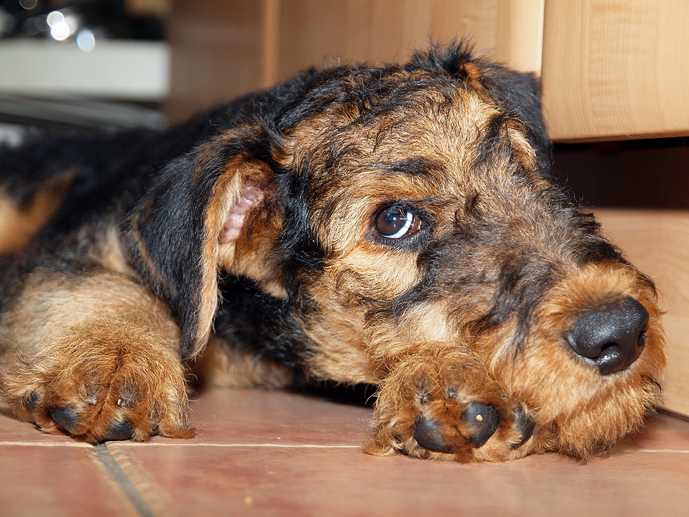 Airedale Terrier Jimmy