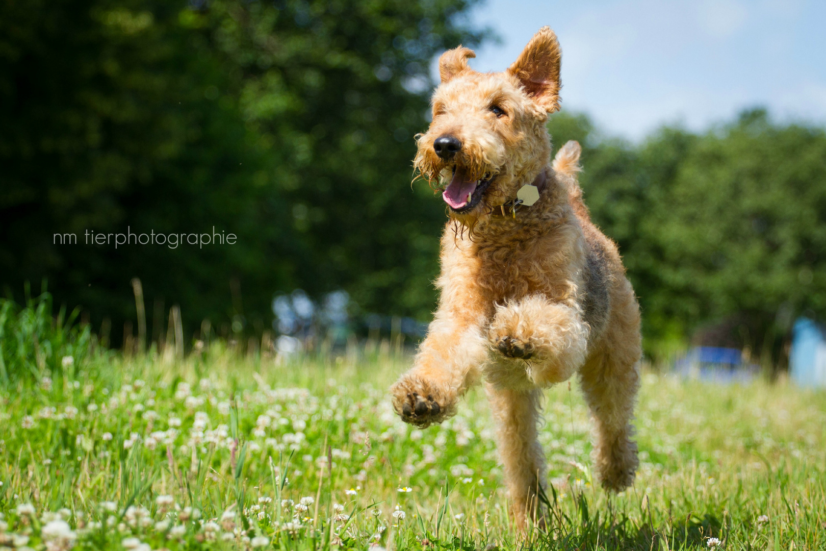 Airedale Terrier Kelly