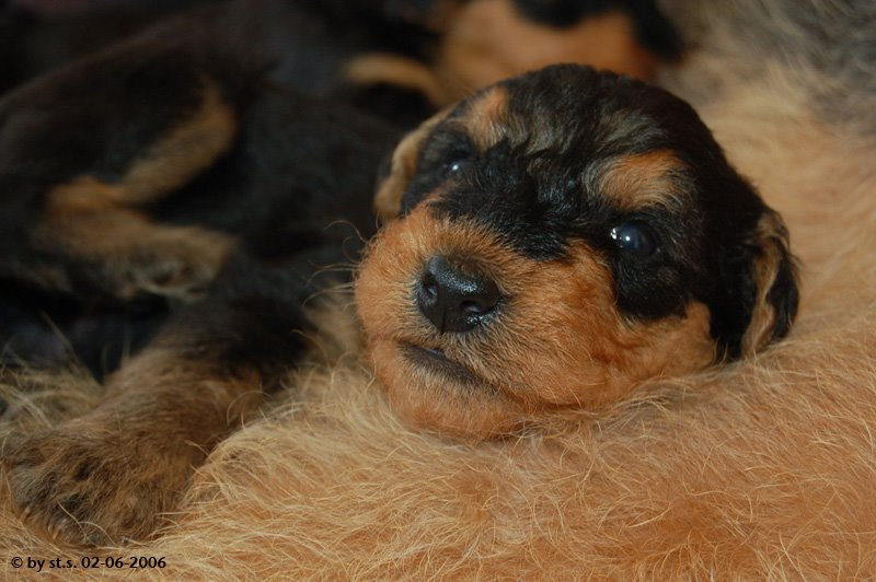 Airedale-Terrier Welpe