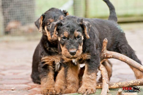 Airedale Terrier Welpen beim Spiel