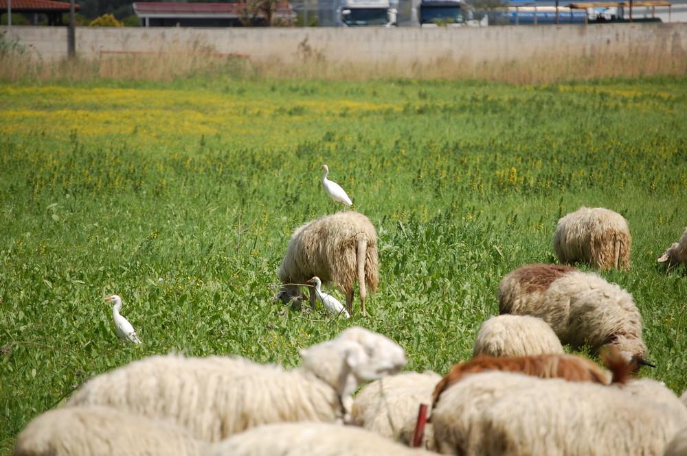 airone guardabuoi...ops...pecore!!