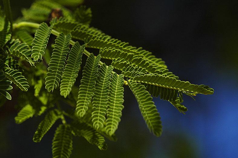 Akazienblätter