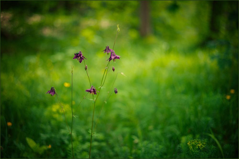 Akelei im Wald