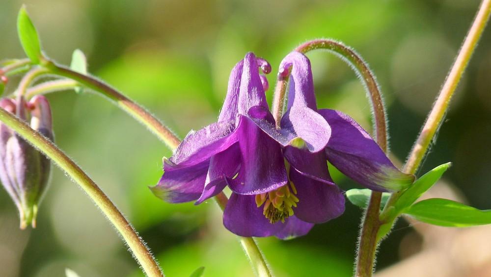 Akelei violett