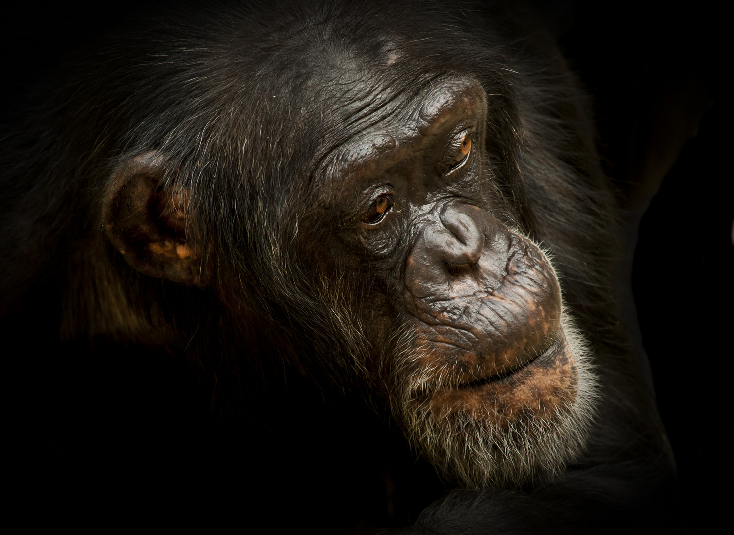 Akida Schimpansen Dame