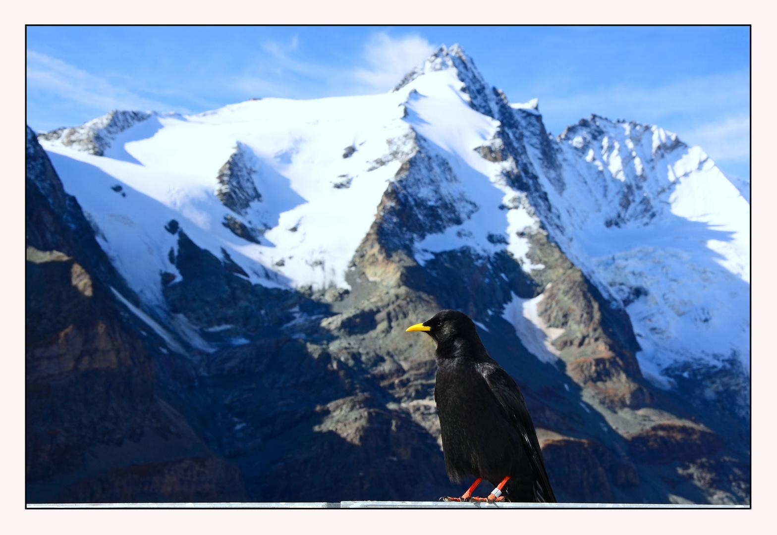 Akrobaten der Lüfte - vor dem Großglockner - die Alpendohle