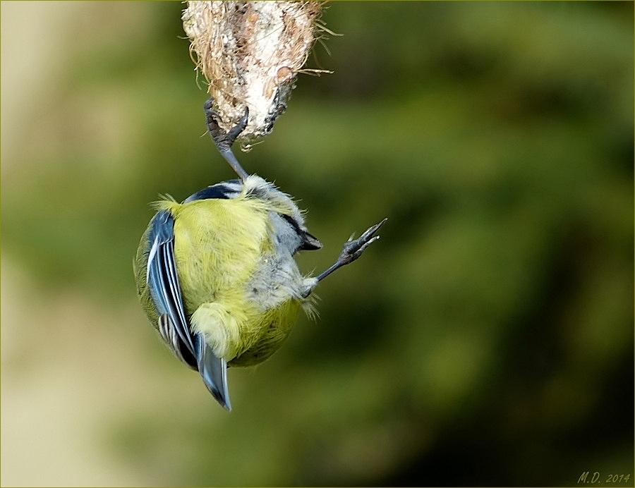 Akrobatisch zeigte sich die kleine Blaumeise...