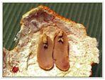 Aktuell: zwei Erdnussmännchen auf Mandarinen- schalenbeet