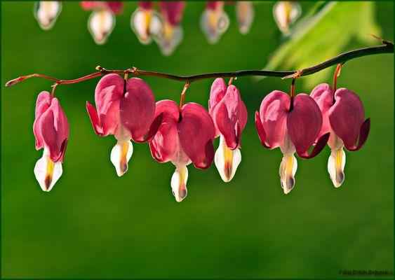 Aktuelle Blüten - tränende Herzen