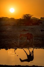 Al tramonto, la giraffa