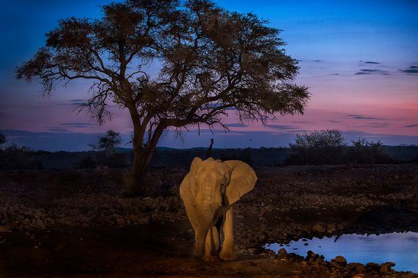 Al tramonto, l'elefante.