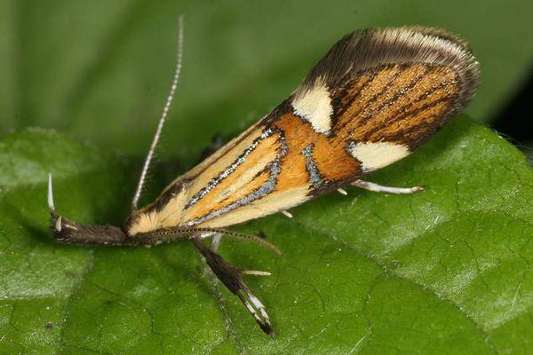 Alabonia geofrella
