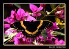 Alada multicolor