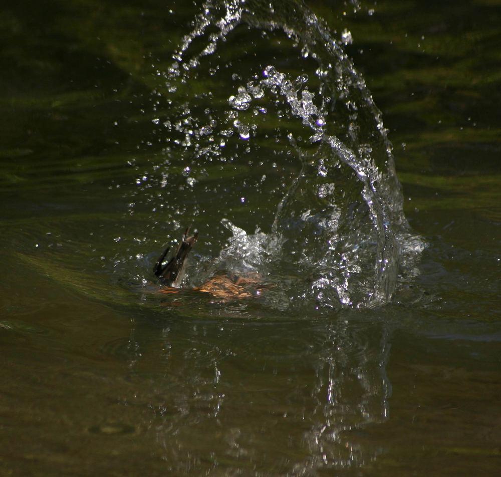 Alarmtauchen einer Ente