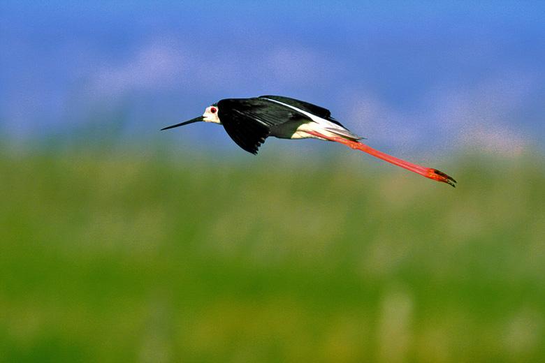 Alas (Himantopus himantopus en vuelo)
