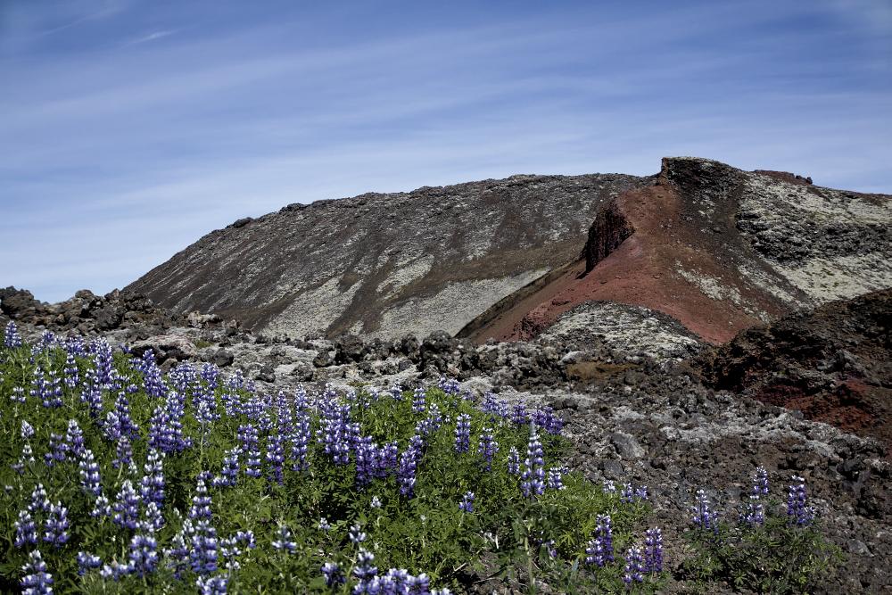 Alaska-Lupinen im Lavafeld