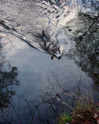 Alaskan Malamute im Wasser