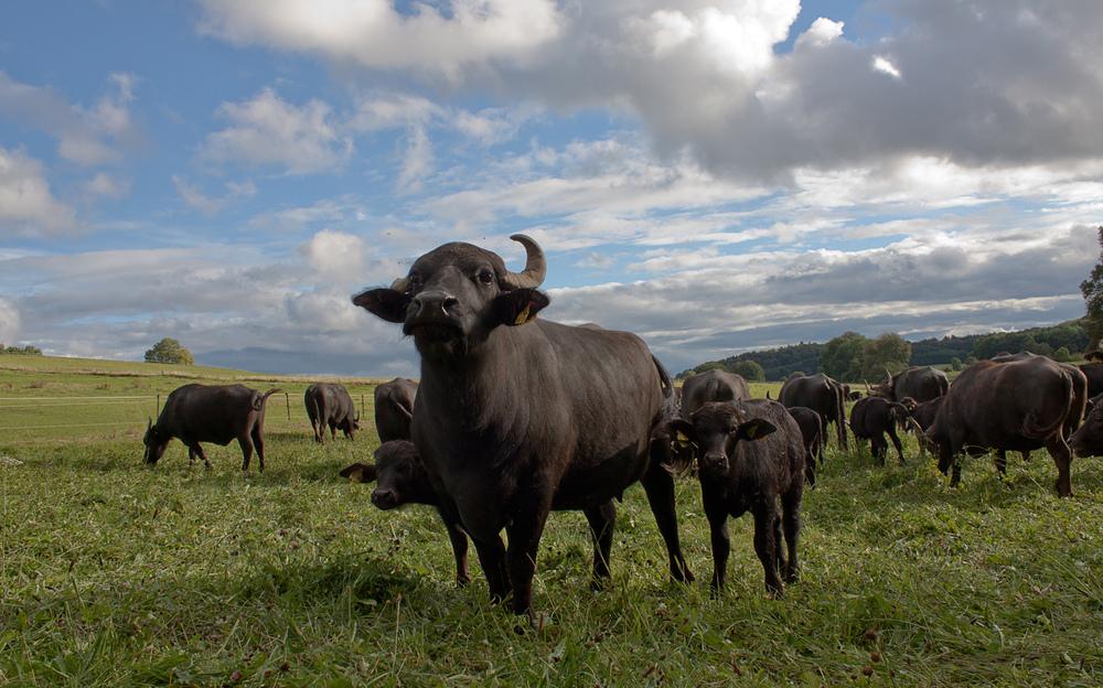 'Alb'-Büffel-Herde