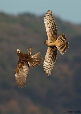 albanella vs falco di palude
