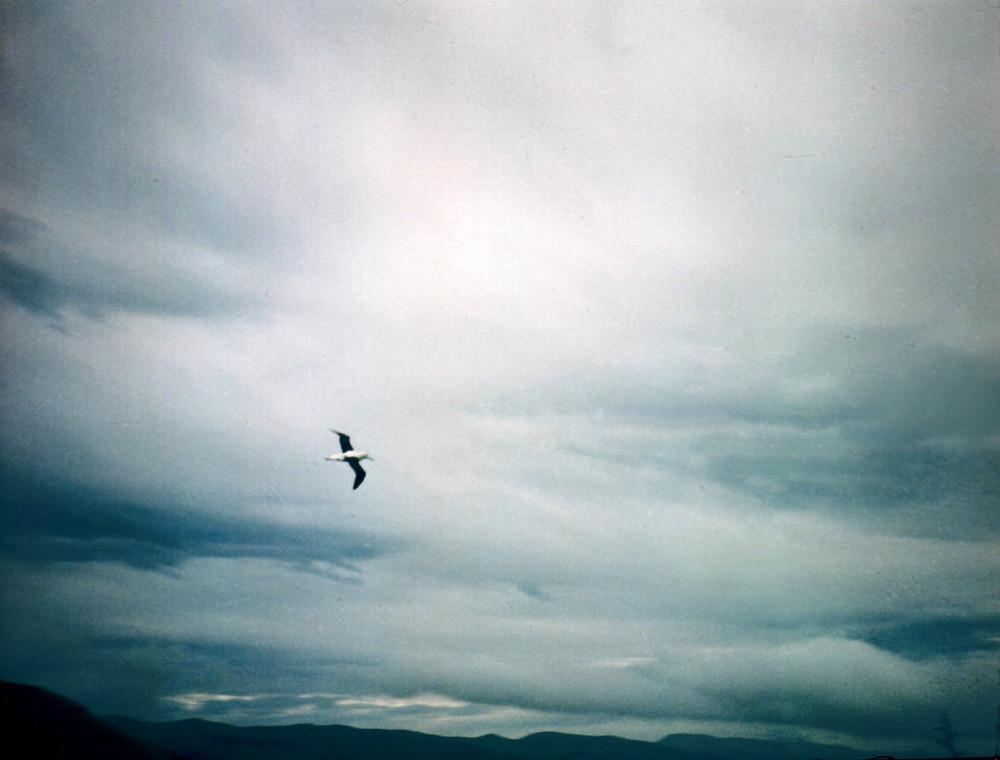 Albatros en vuelo