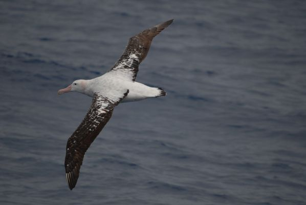 Albatros II