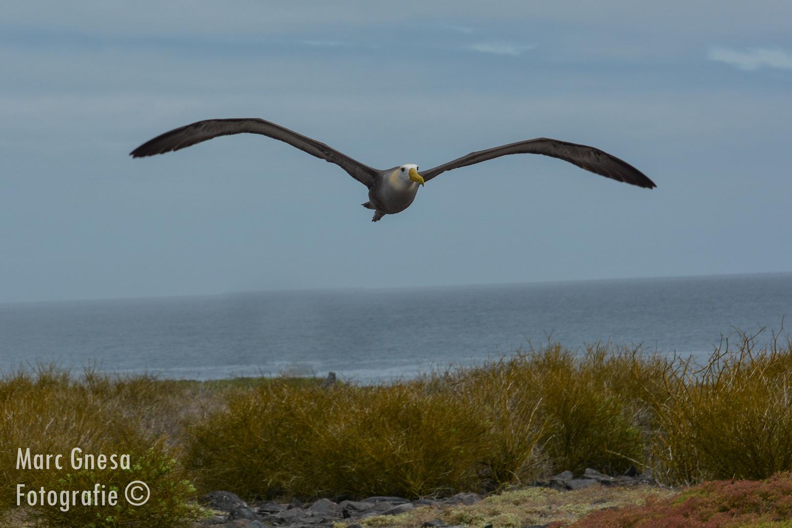 Albatross im Anflug