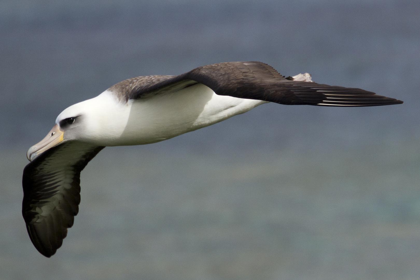 Albatross im Flug