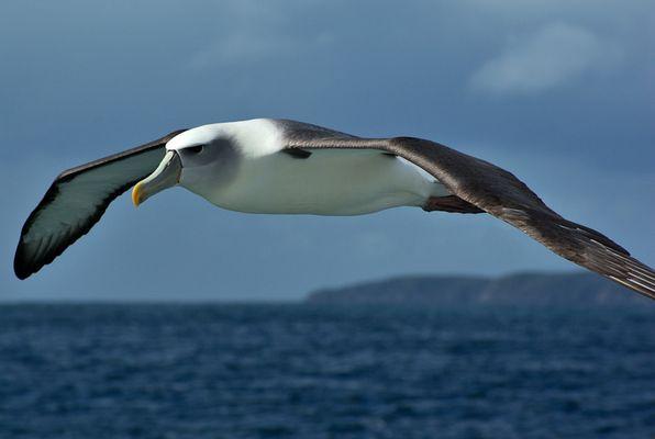 Albatross vor Ulva Island - Neuseeland